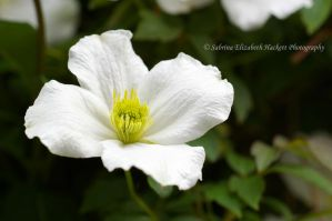 Clematis White by Hitomii