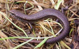 Skink by KittenKiss