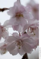 Soft Cherry Pink II by butterfly36rs