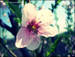 Cherry flowes by cata-angel