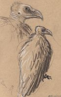 Sketching in the zoo: Vulture by Velouriah