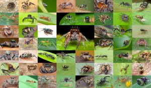 Some of my jumping spiders collection by melvynyeo