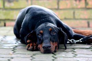 Doberman. by Hollud