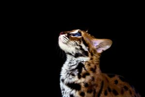 Leopard Cat by cathy001