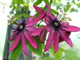 Clematis by purple-whirlpool