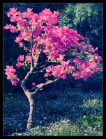 Bougainvillea by Tantawi