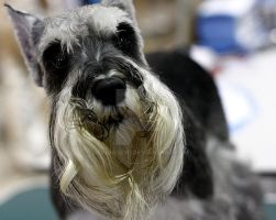 Wise Mini Schnauzer by devinadewi