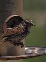 Song Sparrow 8 by photographyflower