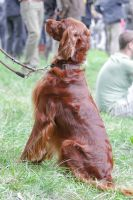 Irish Setter Sitting by LuDa-Stock