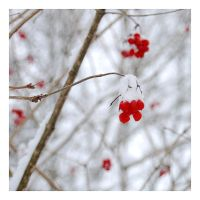 Winter berries by MiouQueuing