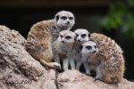 Family Meerkat Portrait by DanielleMiner