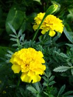 Yellow Marigolds by Autumn-Gracy