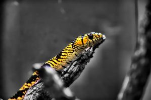 Mexican Rat Snake by DFWHDR