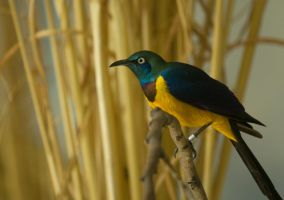 Golden Breasted Starling 2 by toshema