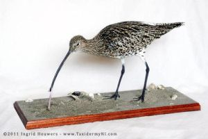 Taxidermy - Curlew by Illahie