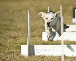 Labrador Retriever Flyball by huntinlabs