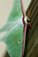 Luna Moth by ArtFreak10192