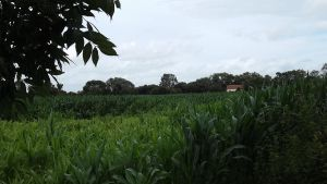 Corn Fields (Day 24) by ChrisM38