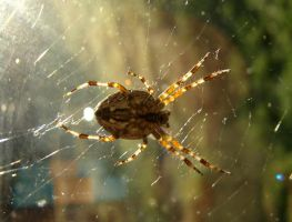Spider by lordfreedom