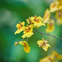 .:Orchid Dream IV:. by RHCheng