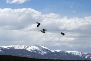 Trio of Pelicans Over Mountains by Shadow848327