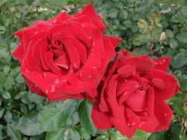 red roses by indeed-stock