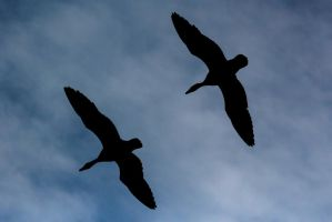 Greater White-fronted Gooses silhouettes by WojciechGrzyb