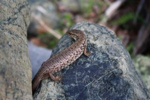 Skink 2 by GreenEyezz-stock