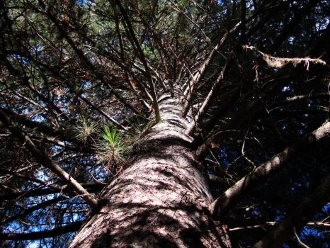 Inside a pine tree by Freemag