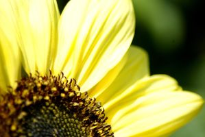 Sunflower by bartek-x