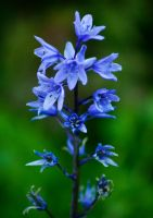 Bluebells by ElinsPhotography