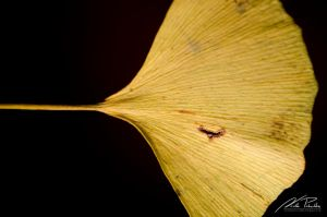 Ginko Leaf by NicPi