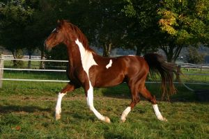 American Saddlebred Stock 12 by LuDa-Stock