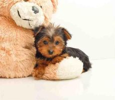Allisons adorable yorkie Amber by AllisonChipette