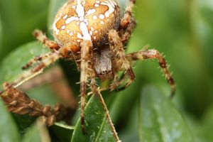 European Garden Spider by Skaldur