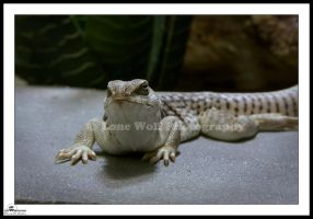 Desert Iguana 3 by LoneWolfPhotography