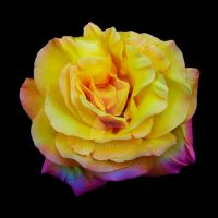 Yellow Rose on Black by watsup223