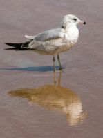 Seagull reflection by drewii57