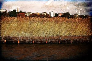 band of reeds by awjay