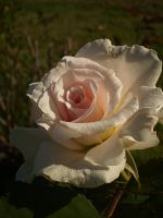 my delicate rose by mysteriousfantasy