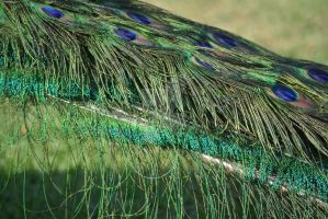Peacock feathers by Angyles