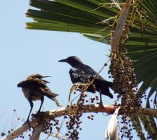 Boat tailed grackles by Parrotmecium
