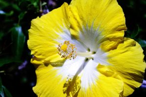Flower, Hibiscus, Yellow White #1 by inspiriture