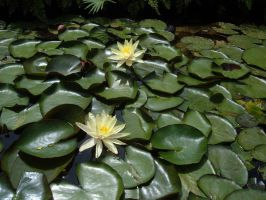 Water Lillies2 by sketchydreamerstock