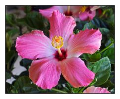 Hibiscus for Mom.L1030149, with story by harrietsfriend