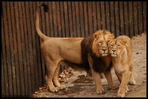 Lion Love by amrodel