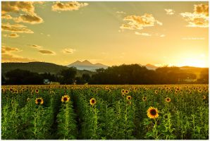 A Sunflower Paradise by kkart