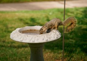 Thirsty Squirrel by photo67