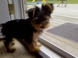 Yorkshire Terrier by newbie-pets12323