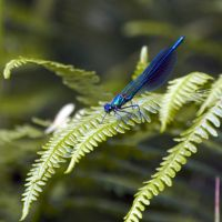 Blue DragonFly by Abylone